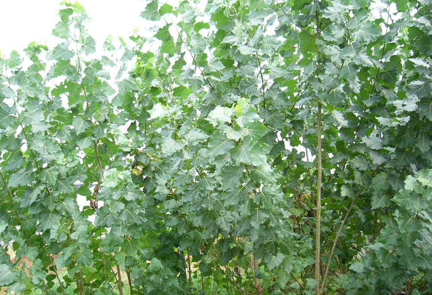 【杨树一般几月种植】