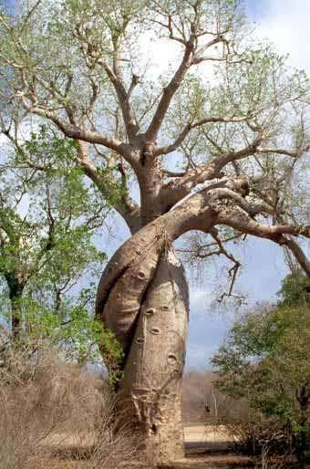 猴面包树的果实为长椭圆形,灰白色,长30—35厘米,纵切面约15—17