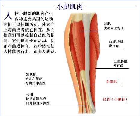 腿结构图名称
