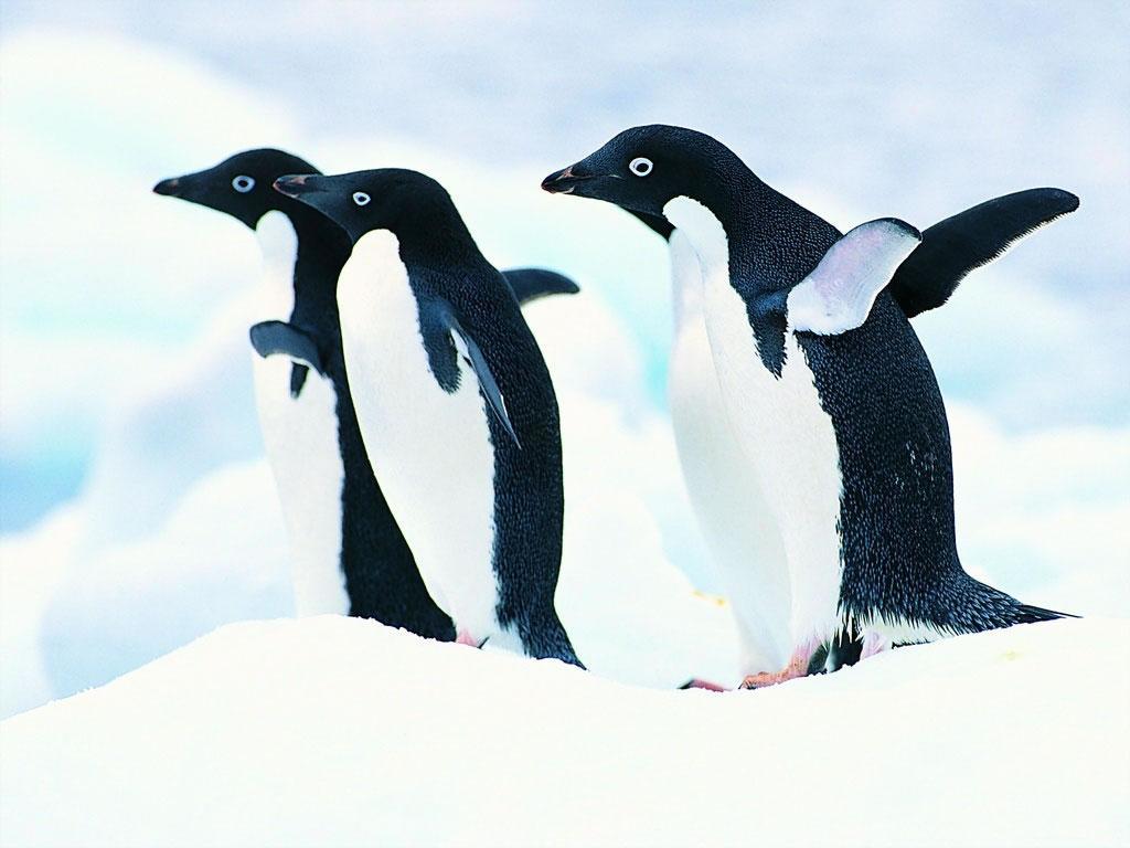 企鹅(动物名称)