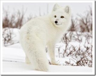 北极狐[英〕arctic