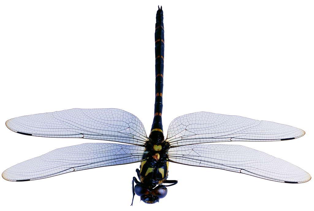 蜻蜓的体形更与人类创造的飞机十分相似.