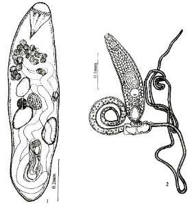 贮精囊在腹吸盘前.生殖孔在腹吸盘侧,常具复杂的生殖窦结构.