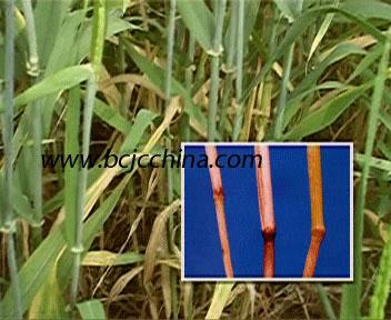 小麦茎的初生结构横切