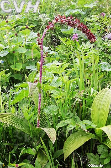 芦莲,药蝇子草