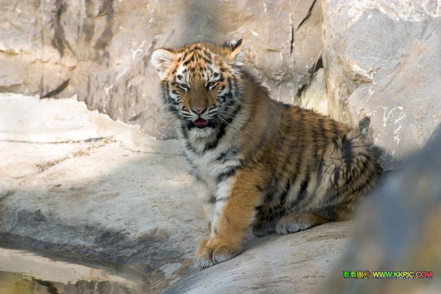 世界上最可爱的老虎