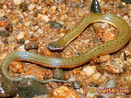 动物 两栖 蛇 娃娃鱼 蝾螈 鲵 430_323