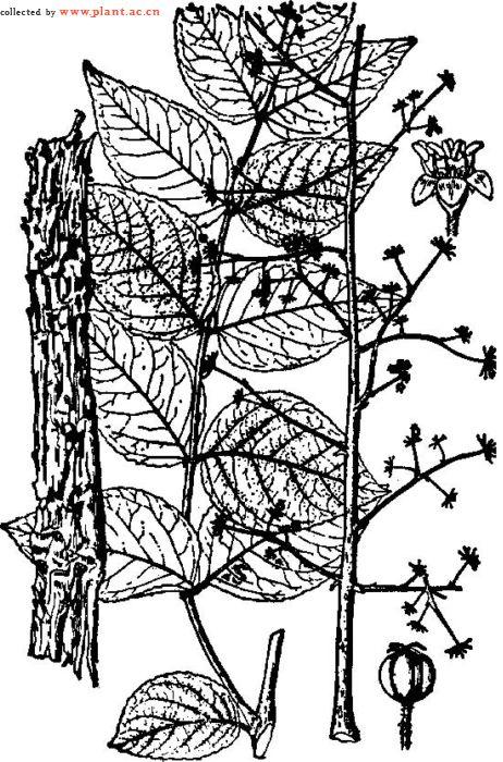 有刺灌木或小乔木,高2-5m