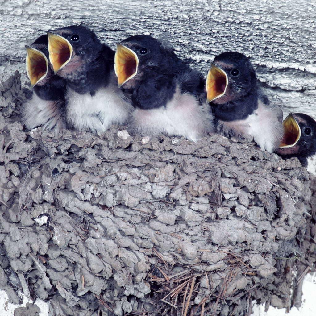 ——筑巢不是鸟类特有的技能,但鸟类筑巢的工艺,在动物界却是无与伦比