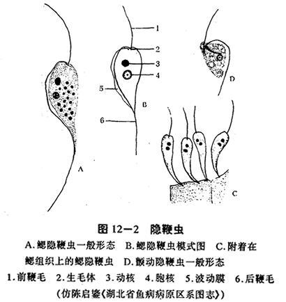 鞭虫手绘结构图