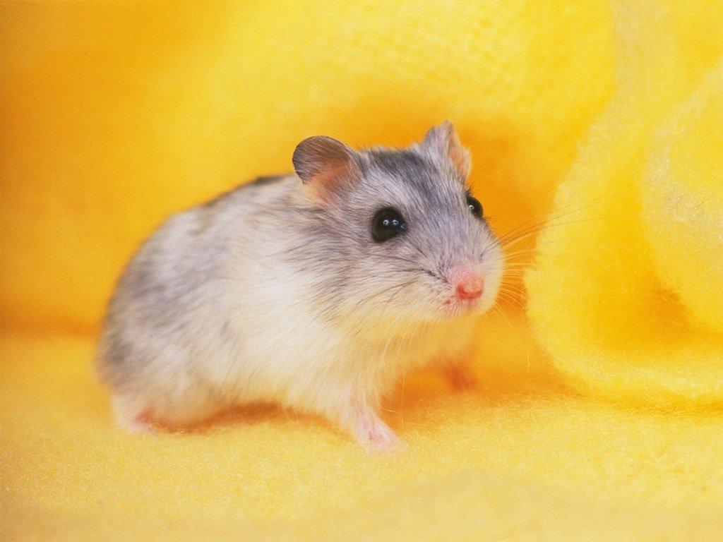 仓鼠是仓鼠亚科动物的总称.共七属十八种,主要分布于   亚...