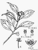 香樟树简笔画-樟 植物