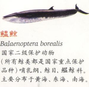 鲸是胎生哺乳动物,不是鱼.小鲸要吃一年的母乳才能发育成熟.