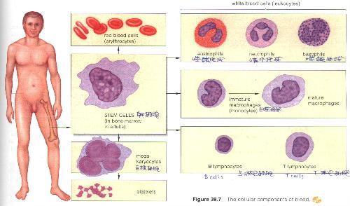 平均红细胞体积偏低高清素材大全_平均红细胞