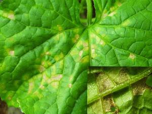 黄瓜霜霉病防治方法你知道吗