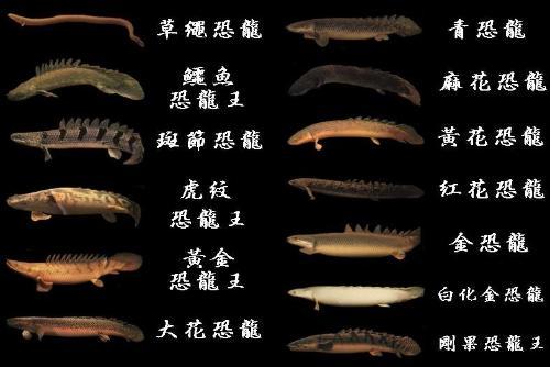 恐龙鱼图片_