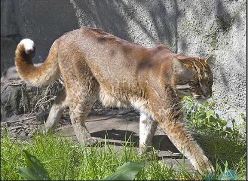 亚洲金猫_金猫