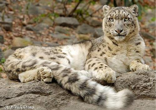 您可以选择查看以下:                        猫科动物 雪豹
