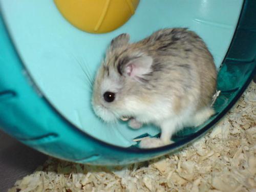 中文学名:沙漠侏儒仓鼠 别    称:老公公仓鼠,小宝路 界:动物界 门