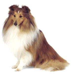 世界名犬大全,图真不容易收集 - haihai - zhangfenghai123hai的博客