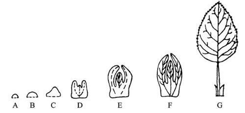 叶子并不是长久地生长在植物体上,而是有一定的寿命.图片