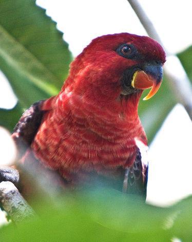 种:红衣吸蜜鹦鹉