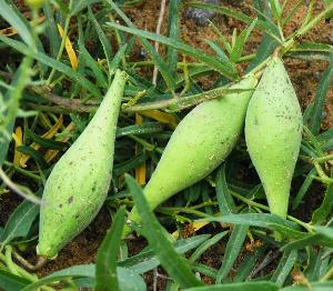 分类:为萝藦科、 鹅绒 藤属植物。
