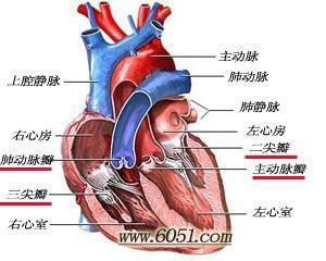 在心脏永不停止的活动中扮演的角色极普通又极
