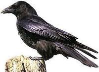 在传说中,乌鸦这种鸟在母亲的哺育下长大后,当母亲年老体衰,双目失明