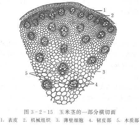 茎尖的结构图