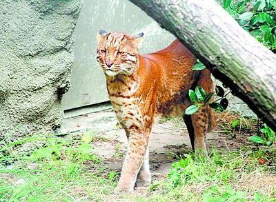 亚洲金猫_金猫(学名felis(catopuma) temmincki;英文golden cat)也叫亚洲金猫