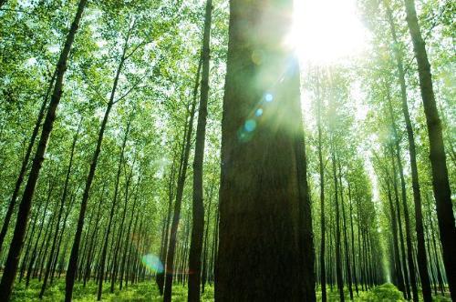怎样营造杨树丰产林?
