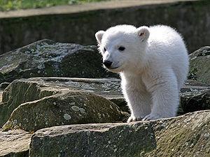 努特(knut)一头柏林动物园2006年12月5日受到的是在北极熊,它是出生鹦鹉骨喂墨鱼图片