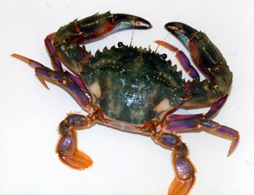 壁纸 动物 甲壳类 两栖 蛙 500_385