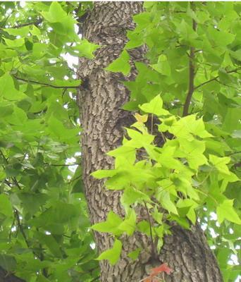 丛林式枫树盆景,可用汉白玉或大理石浅盆,把盆土加工成高低不平的自然