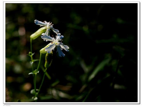卡里蝇子草,多年生草本
