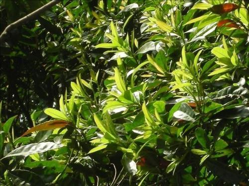 楠树的果实