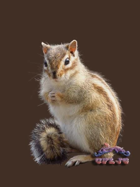 其中生活在树林里的松鼠,在我国东北和华北各地十分常见,因而又叫普通