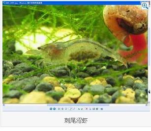 巨型淡水虾 搜狗百科