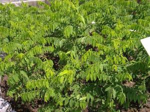 守宫木的栽培特性
