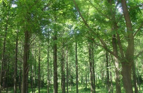 四川珍贵树木图片
