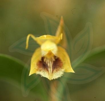 长鳞贝母兰,根状茎匍匐