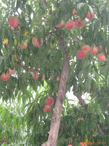 山桃树的果实