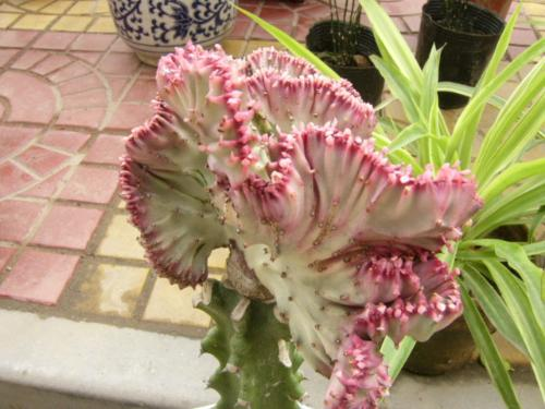 """这种仙人掌类植物叫""""春风"""""""