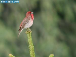 简介 名称 红麻料,青麻料.雀形目,鸟纲,雀科. 综述