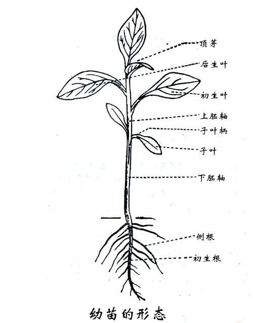 比如夏玉米田里的稗草,狗尾草,马齿苋等野生植物是杂草,同时小麦的自