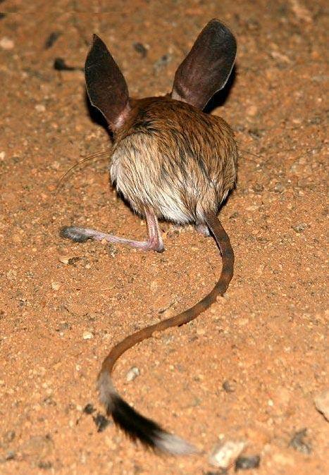 隶属分类学上属脊椎动物门,哺乳动物纲啮齿目科跳鼠科,而在分类