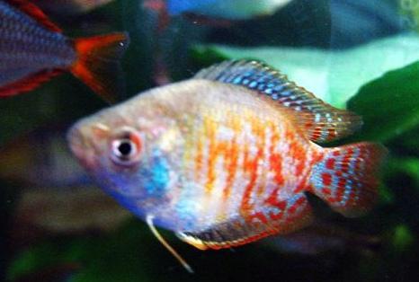 ... 鱼 斗鱼 迷情 观赏 鱼 之 家 丽丽 鱼 的 混养 丽丽 鱼