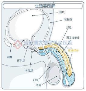 原发性阳痿 - 搜搜百科