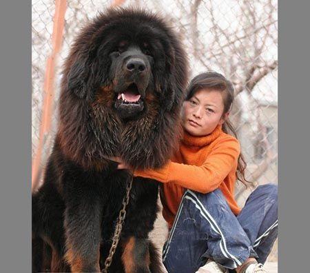 世界上最大的狗藏獒_世界上最大的纯藏獒狗图片